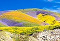 Superbloom at Carrizo 2017.jpg