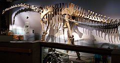 Esquelet de Supersaurus, North American Museum of Ancient Life