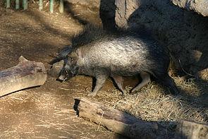 Visayas-Pustelschwein