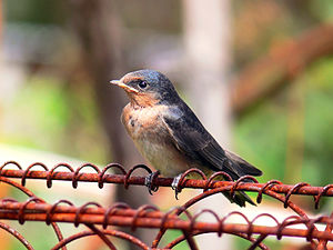 Welcome swallow - Image: Swallow chick perching 444