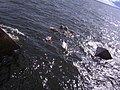 Swan - panoramio - Dmitrijs Purgalvis.jpg