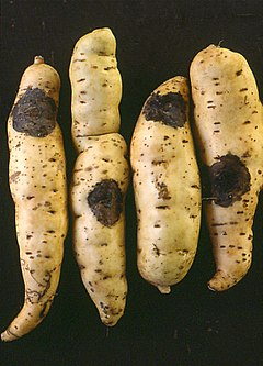 Sweet potato ceratocystis.jpg