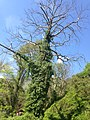 Syri i Kalter peme.jpg