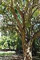Syzygium cumini - Fruit and Spice Park - Homestead, Florida - DSC09164.jpg