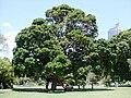 Syzygium moorei Sydney.JPG