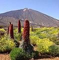 Tajinastes en flor - panoramio.jpg