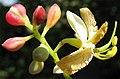 Tamarindus indica-flowers.jpg