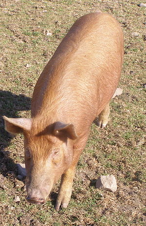 Tamworth pig - Adult Tamworth pig, Aberdeenshire, Scotland