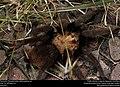 Tarantula (Theraphosidae, Aphonopelma sp.) (37099082280).jpg