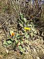 Taraxacum serotinum sl80.jpg