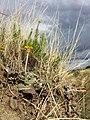 Taraxacum serotinum sl82.jpg