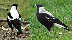Pair of Tasmanian Magpies, Gymnorhina tibicen ...