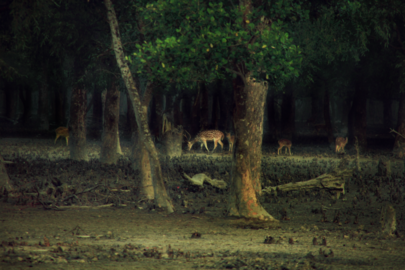 Taste of Freedom - Chitra (Spotted) Deer love the salted muds of mangrove forest.png