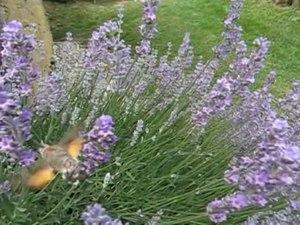 Archivo: Taubenschwaenzchen Zeitlupe - Hummingbird Hawk-Moth Slow Motion.ogv