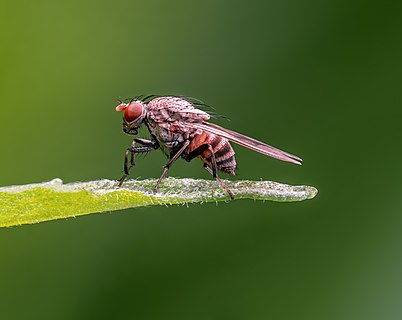 Christening fly in a garden in Bamberg. Focus stack of 11 pictures