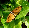 Tawny Coster. Acraea violae - Flickr - gailhampshire (1).jpg