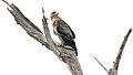 Tawny Eagle (Aquila rapax) (44731591220).jpg
