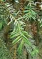 Taxus wallichiana kz01.jpg