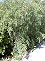 Teline canariensis 1c.JPG