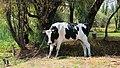 Tethered bull Holstein Mexico p1.jpg