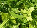 Tettigonia viridissima2.jpg
