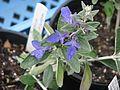 Teucrium fruticans azureum - Flickr - peganum.jpg