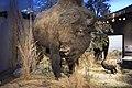 Texas Wild Bison.jpg
