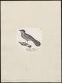 Thamnophilus capistratus - 1809-1845 - Print - Iconographia Zoologica - Special Collections University of Amsterdam - UBA01 IZ16400387.tif