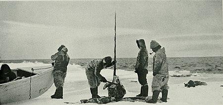 Эскимосы разделывают тушу самца нарвала (длина бивня— около 2,4 м)