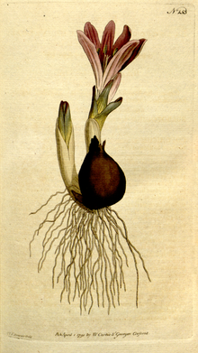 The Botanical Magazine, Plate 153 (Volume 5, 1792).png
