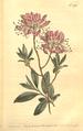 The Botanical Magazine, Plate 474 (Volume 14, 1800).png