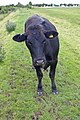 The Curious Heifer - geograph.org.uk - 1106827.jpg