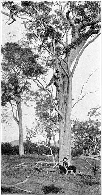 Baudin's black cockatoo - Image: The Emu volume 3 plate 2