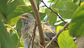 The Jungle Babbler.jpg