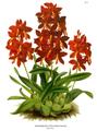 The Orchid Album-01-0017-0004-Epidendrum vitellinum majus.png