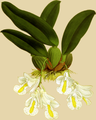 The Orchid Album-01-0056-0018-Burlingtonia candida-crop.png