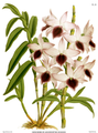 The Orchid Album-01-0062-0020-Dendrobium ainsworthii roseum.png
