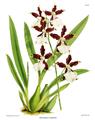 The Orchid Album-01-0140-0046-Miltonia cuneata.png