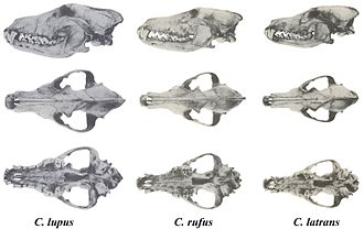 Red wolf - Skulls of North American Canis, with red wolf in the center