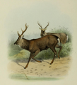 The deer of all lands (1898) Manchurian sika.png
