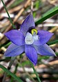 Thelymitra brevifolia - cropped.jpg
