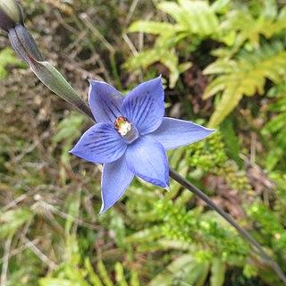 <i>Thelymitra pulchella</i> species of plant