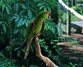 Thick-billed Parrot 147 (2).jpg