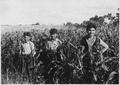 Three boys standing among the corn stalks - NARA - 285752.tif