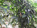 Thunbergia mysorensis var.aurea-2-chemunji-kerala-India.jpg
