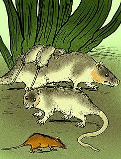 <i>Thylophorops</i>