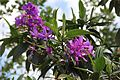 Tibouchina Granulosa (Purple Glory Tree) (28276167124).jpg