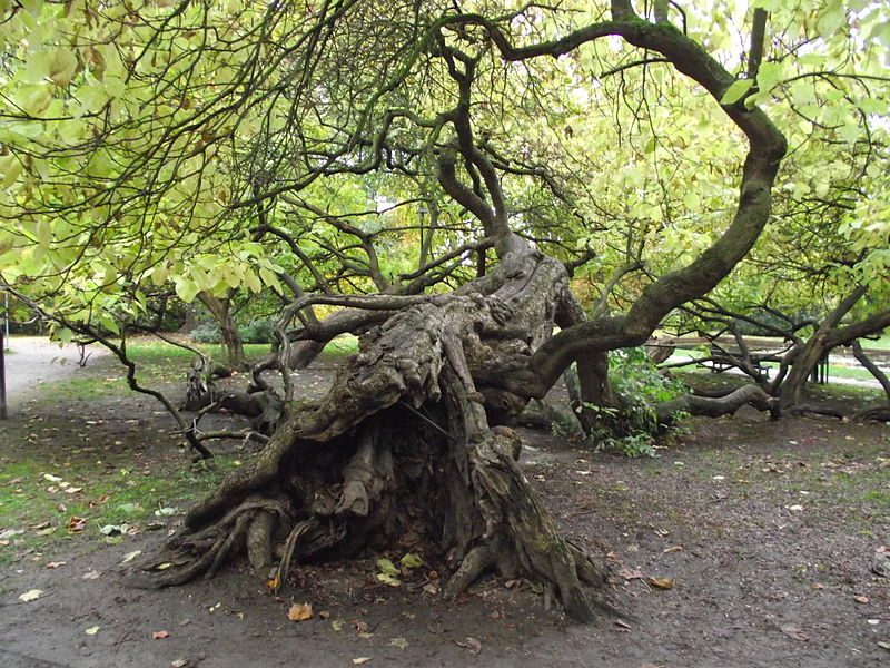 Unusual trees in a park in Tienen. The tree reproduces itself asexualy by starting new trees when a branch touches earth and start a new plant.