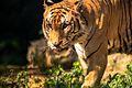 Tiger - Vandalur.jpg