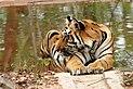Tiger 1 (India).jpg